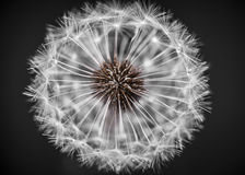 Dandelion head closeup Stock Photo