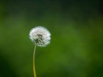 Dandelion head in a field Stock Photo