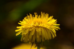 Dandelion head flowering Stock Photo