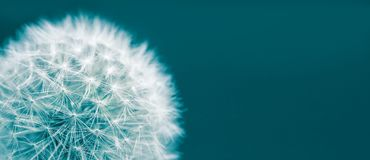 Dandelion head macro closeup photo isolated on a green cyan background in wide panorama format and large empty space. Photo color toned with green and blue stock image