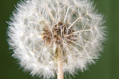Dandelion head over green Stock Photo