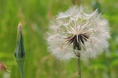 Dandelion head over green field Stock Photos