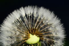 Dandelion head Stock Photo