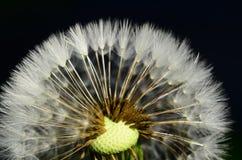 Dandelion head Stock Photo