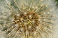 Dandelion head Royalty Free Stock Photos