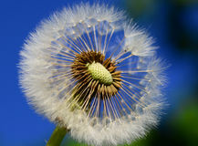 Dandelion head Stock Photography