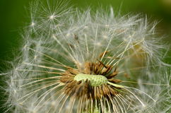 Dandelion head Royalty Free Stock Image