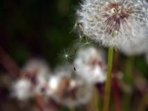Dandelion head with seeds. Dandelion seeds gone with the wind Royalty Free Stock Photo