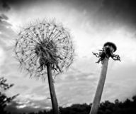 Dandelion head and seeds stock photography