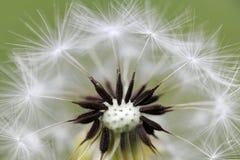 Dandelion head and seeds. macro Stock Photography