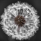 Dandelion head with seeds Royalty Free Stock Photography