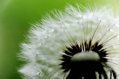 Dandelion head and seeds. marco Royalty Free Stock Photography