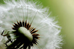 Dandelion head and seeds. marco Stock Images