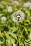 Dandelion head with seeds on the meadow Royalty Free Stock Photos