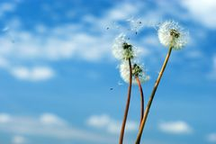 Dandelion head on the sky royalty free stock photos