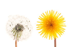 Dandelion heads. Two dandelion flower heads isolated over white royalty free stock images