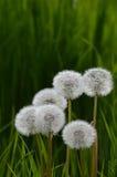 Dandelion Heads Stock Image