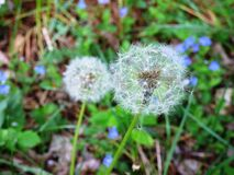 Dandelion heads in grasses Royalty Free Stock Photo