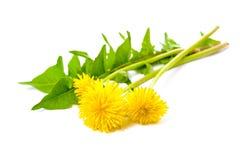 Dandelion. Healing plants. Dandelion isolated on white background stock image