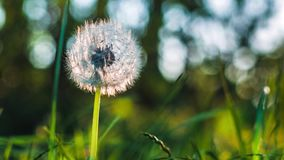 Dandelion heard motion by the wind breeze, seeds falling down, sun light flares and round bokeh playing in background. Close up stock footage