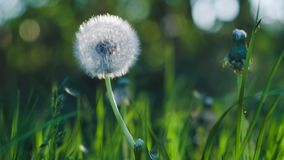 Dandelion heard slightly moved by the wind breeze, seeds falling down, sunlight flares and round bokeh flickering in. Background, close up, vintage stock footage