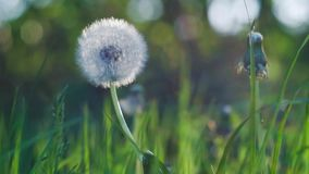 Dandelion heard slightly moved by the wind breeze, seeds falling down, sunlight flares and round bokeh flickering in. Background, close up, vintage stock video footage