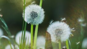 Dandelion heard slightly moved by the wind breeze, seeds falling down, sunlight flares and round bokeh flickering in. Background, close up, vintage stock video