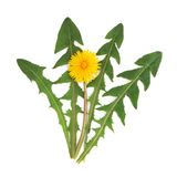 Dandelion Herb Flower. With leaf sprigs isolated over white background. Taraxacum officinalis royalty free stock photo