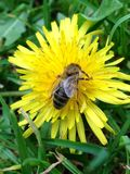 Dandelion and the honeybee. Honeybee feeding from a dandelion in English country garden stock photo