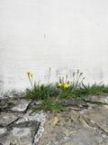 Dandelion on the house wall (2) Stock Photos