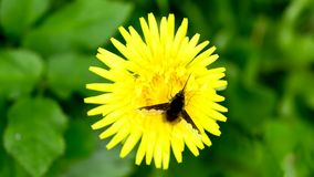 Dandelion with hoverfly. Dandelion flower with hoverfly, closeup stock video