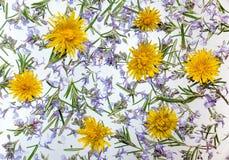 Dandelion i jasnoty kwiatów tło Fotografia Stock