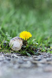 Dandelion i ślimaczek Obrazy Royalty Free