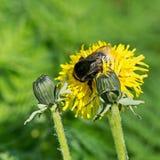 Dandelion i pszczoła Obrazy Royalty Free