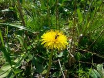 Dandelion I pszczoły Obraz Stock