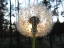 Dandelion i słońce Zdjęcie Royalty Free
