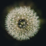 Dandelion. Image of a lone dandelion royalty free stock photos