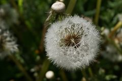 Dandelion image with seeds. Detail of a dandelion with white seeds, some missing, with morning dew on Royalty Free Stock Photos