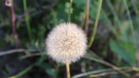 Dandelion. Image was shot in Burgas Bulgaria stock video