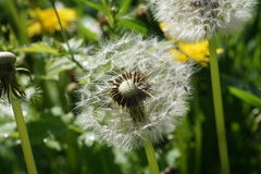 Dandelion image with white seeds. Detail of a dandelion with white seeds, some missing, blown away Royalty Free Stock Images