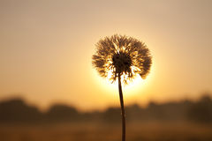 Free Dandelion In Dew Stock Photos - 21096673