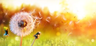 Free Dandelion In Field At Sunset Royalty Free Stock Photography - 143240567