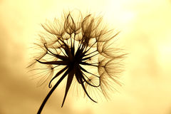 Free Dandelion In Sepia Stock Photo - 16820