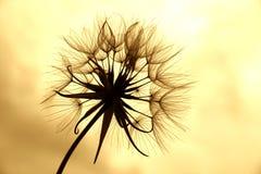 Dandelion In Sepia Stock Photo