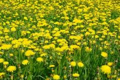 Dandelion In The Grass Stock Photo