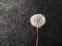 Free Dandelion In The Rain Stock Image - 30824631