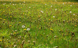 Dandelion infested lawn. Lawn covered with dandelions in different stages Royalty Free Stock Photos