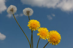 Dandelion. Inflorescences dandelion and balls dispute seeds on the background of blue sky Royalty Free Stock Image