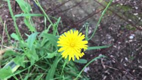Dandelion and the insect stock footage