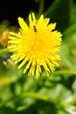 Dandelion with insect Royalty Free Stock Photos